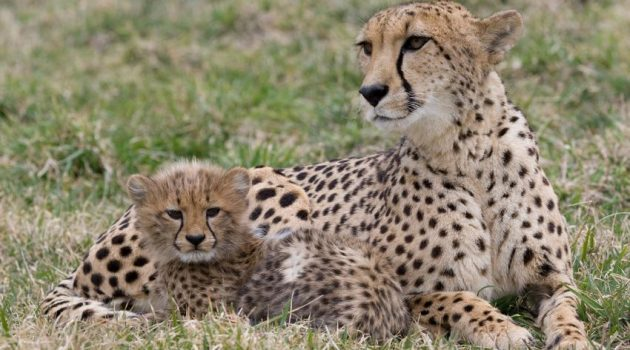 A cheetah mother and her cub at the Smithsonian's National Zoological Park