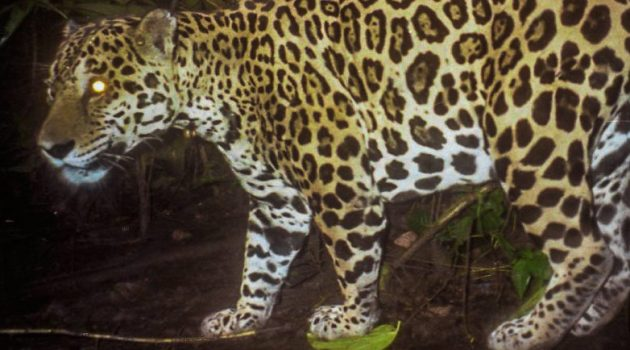 Jaguar conservation depends on neighbor attitudes