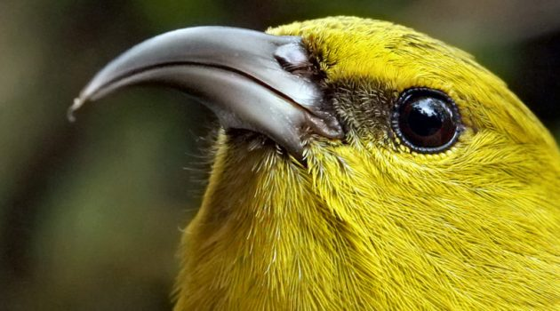 Historically abundant and widespread on the island of Kaua'i, the population of Kaua'i amakihi, like other native Hawaiian forest birds, is now largely restricted to high elevation forest habitats. (Photo by Lucas Behnke, Kaua'i Forest Bird Recovery Project)