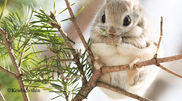 "Japanese flying squirrel, ""Pteromys momonga"" (Flickr photo by Keishiro Shin)"
