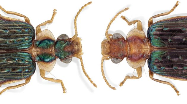 Meet the newest New World canopy beetle species. 'Gazillions' await discovery.