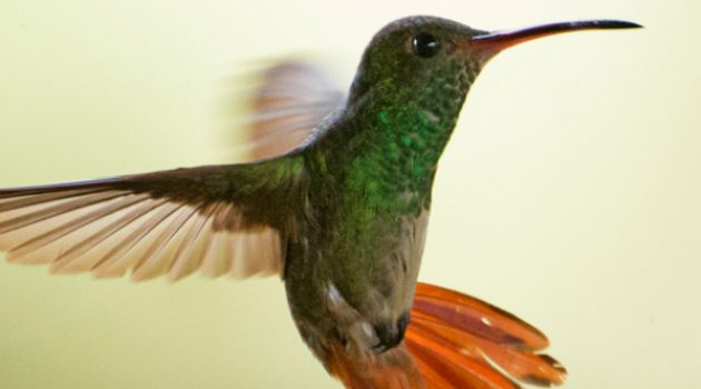 Hummingbirds dodge and weave