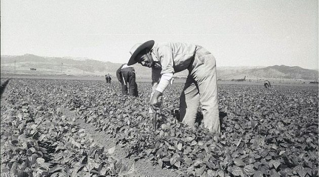 A bracero stoops down with a short-handled hoe to cultivate a pepper field in California. This 1956 photo by Leonard Nadel is in the collection of the Smithsonian's National Museum of American History.