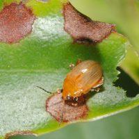"The light flea beetle ""Haemaltica"" sp. and its damage to a leaf of the plant ""Memecylon"" sp. in Karnataka, India."