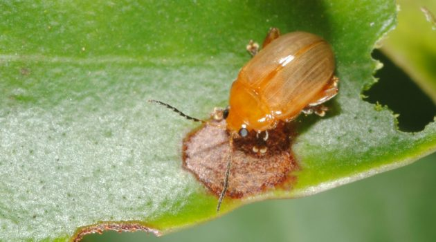 "The light flea beetle ""Haemaltica"" sp. and its damage to a leaf of the plant ""Memecylon"" sp. in Karnataka, India."