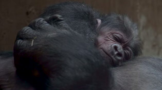 Western lowland gorilla born at Zoo