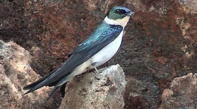 After a nearly 20-year search, this Jamaican bird is probably extinct
