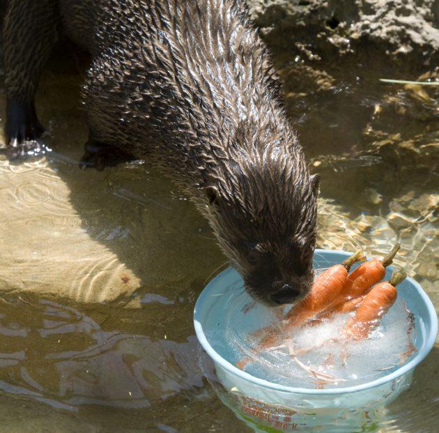 otter carrots