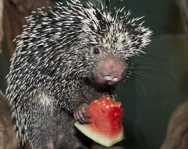 porcupine watermelon