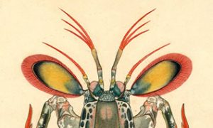 Original artwork of a mantis shrimp (Odontodactylus scyllarus) by Carl Linnaeus,  1758. (Courtesy of the Smithsonian's National Museum of Natural History)