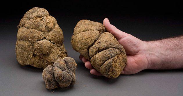 giant sloth dung