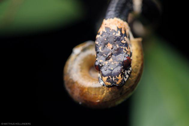 snake snail