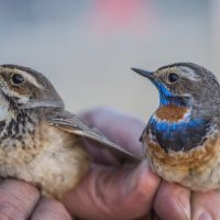 The bluethroat (female left, male right) is a bird of mystery for much of the year, but Smithsonian scientists are working to solve the case. (Photo by Tim Romano)