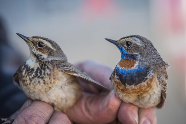 two bluethroats