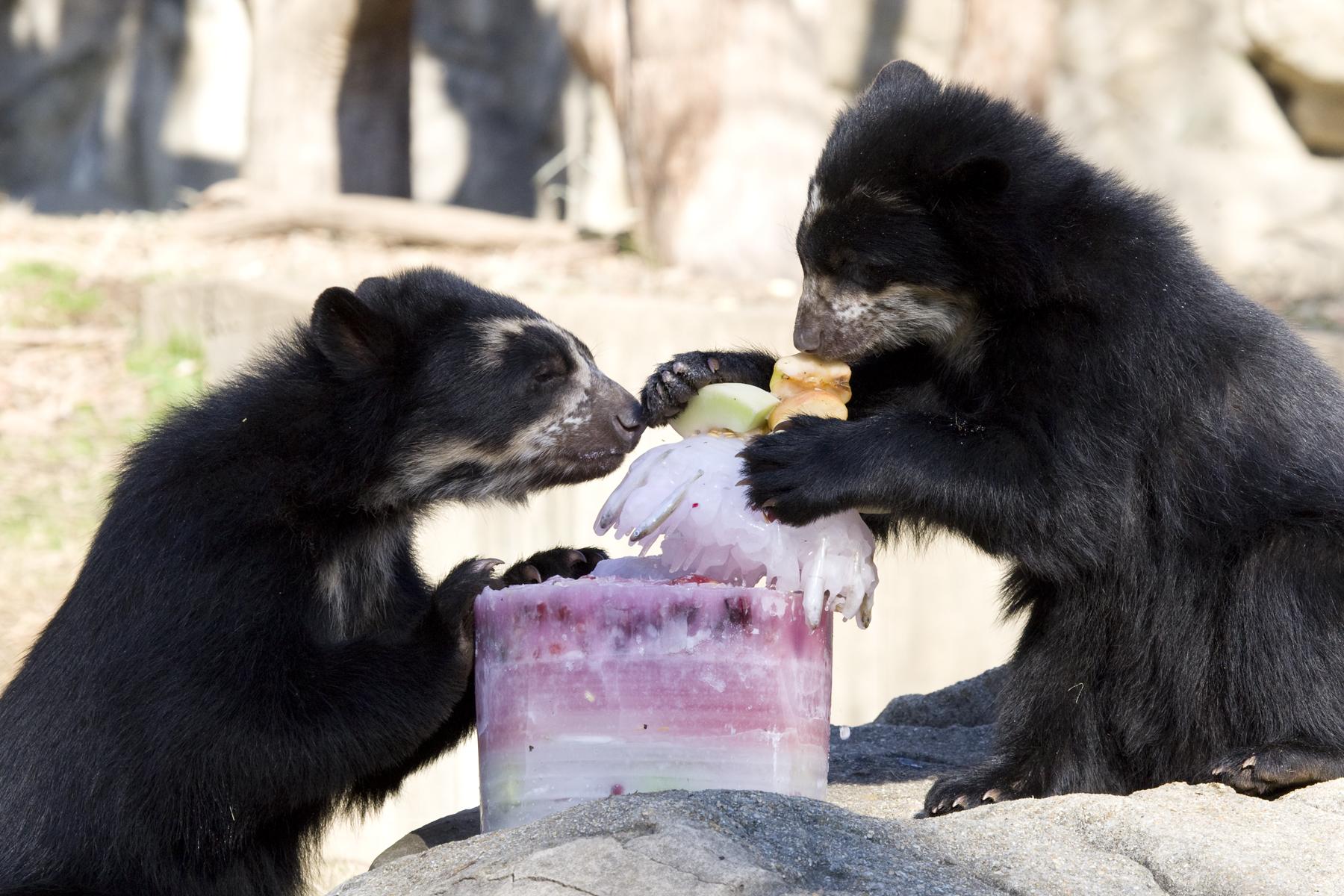 bears ice