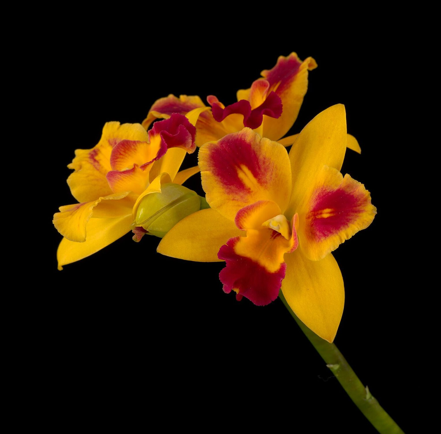 See thousands of orchids in incredible detail in the Smithsonian's newly digitized collection