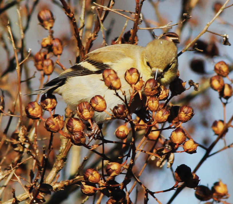 Crape myrtle trees aren't native to the US, but hungry native birds still find them tasty
